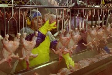 EUA: trabalhadores dos aviários obrigados pelo patronato a usar fraldas