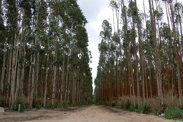 Terceirização em horto florestal de eucaliptos pode se transformar em caso emblemático. Fotografia: Guilherme Zocchio/Repórter Brasil