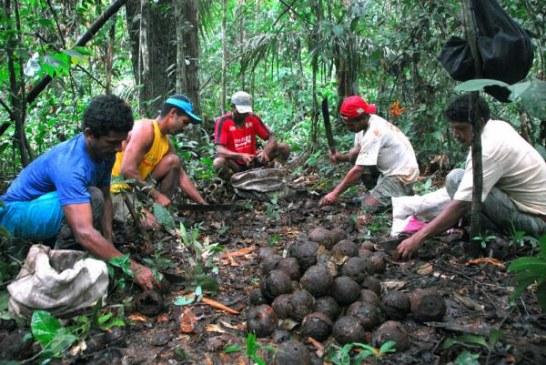Acre: projeto do PNUD ajuda comunidades extrativistas a melhorar colheita da castanha-do-pará